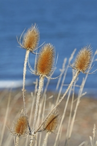 Teasels by the sea