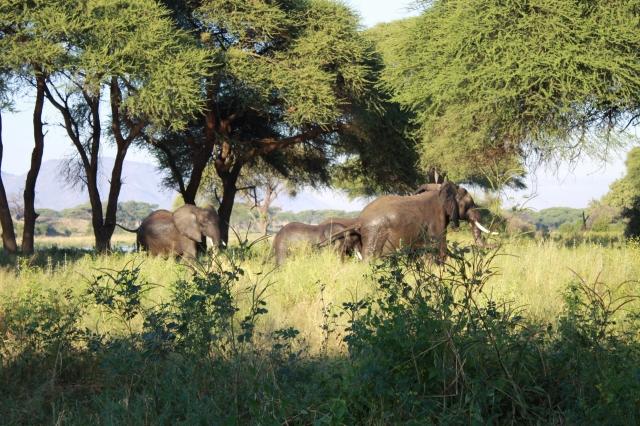 Ruaha Elephants 2