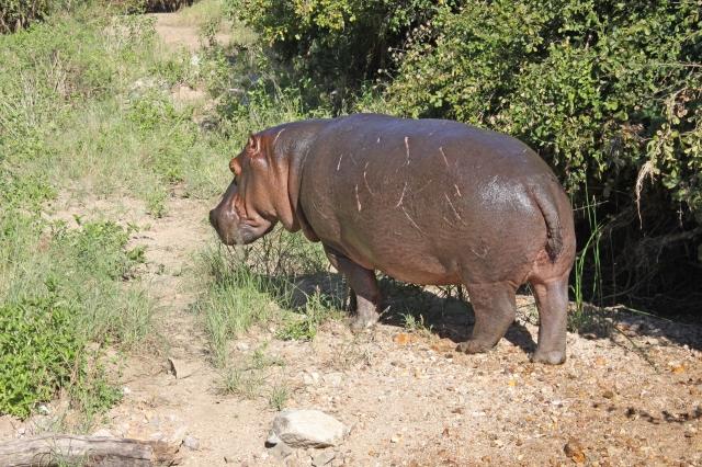 Ruaha Hippo 1