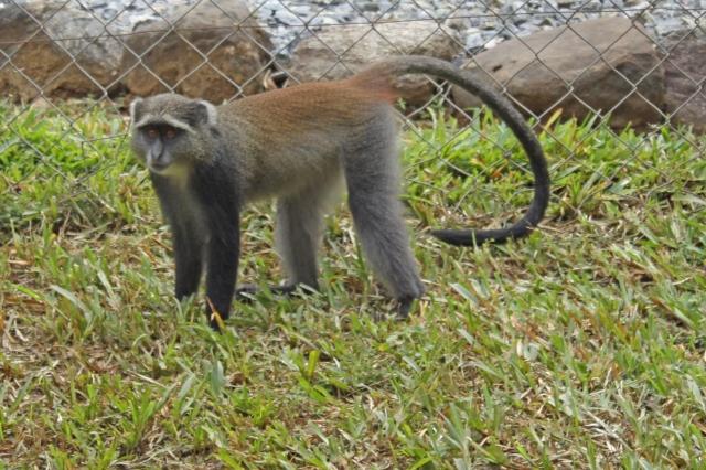 Udzungwa Sykes Velvet Monkey