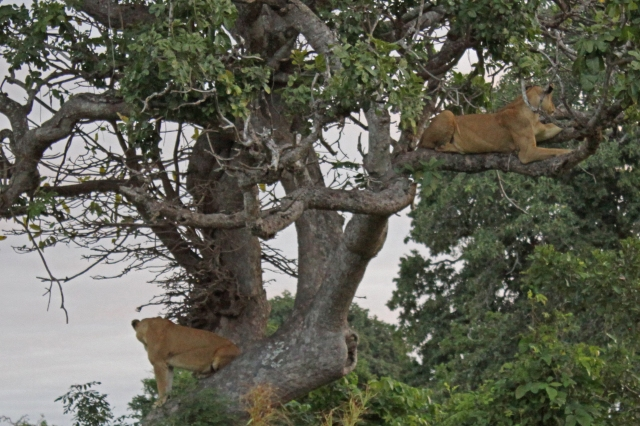 Mikumi lionesses in tree 2