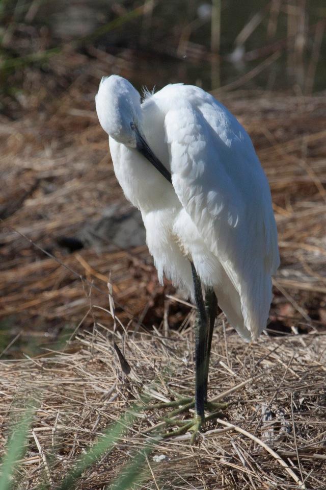 Little Egret Parc Ornithologue du Teich 27 Aug 2014_edited-1