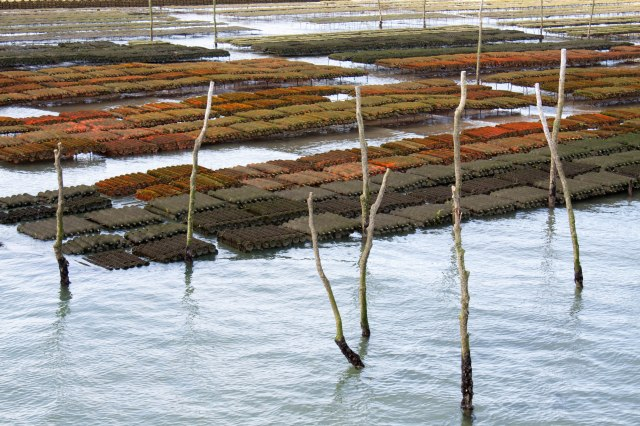Oyster beds at low tide: Cap Ferret