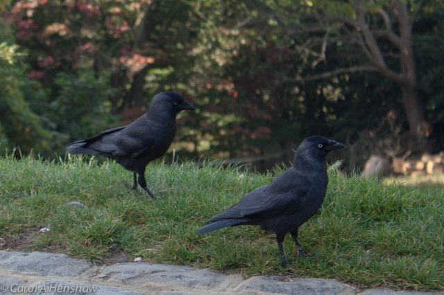 Jackdaws Richmond Park Sept 2014-0057