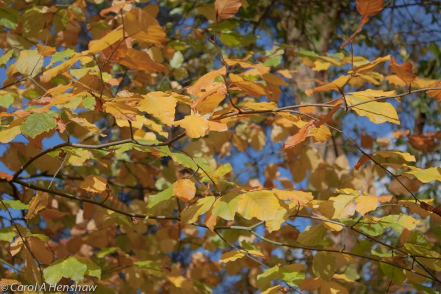 Beech leaves Smallwood Oct 2014 (1 of 1)