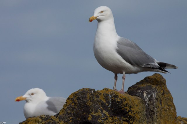 Gulls N Berwick Harbour 25 Feb 25 2015 (1 of 1)