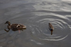Mallard Water of Leith Feb 26 2015 (1 of 1)