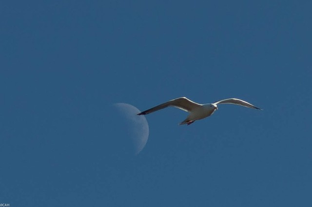 Moon and seagull Feb 24 2015 (1 of 1)