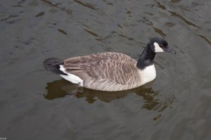 Canada Goose on Canal near Dale St March 2015 (1 of 1)