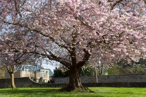 Cherry tree Monkwood Court 1 (1 of 1)