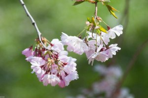 Cherry tree Monkwood Court 2 (1 of 1)