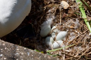 The swan nest (1 of 1)