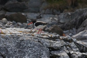 Oystercatcher Skerray 31 May 2015 (1 of 1)