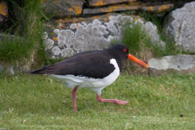Oystercatcher 2 Birsay 8 June 2015 (1 of 1)
