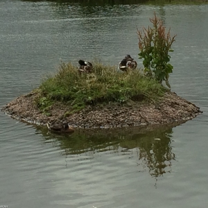 Ducks at Tebay (1 of 1)