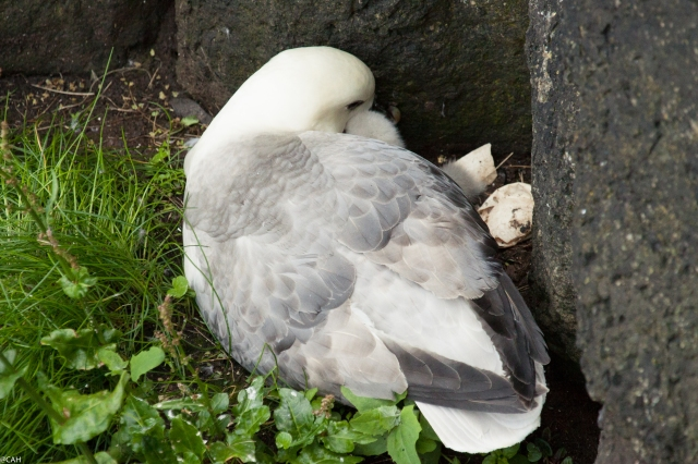 Fulmar with chick Rathlin