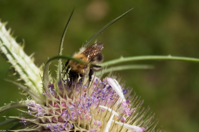 Bee on teasel (1 of 1)