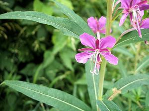 Willowherb, Rosebay (Chamerion angustifolium) Old Fosse Sapcote SP 4923 9239 (taken 23.6.2006..