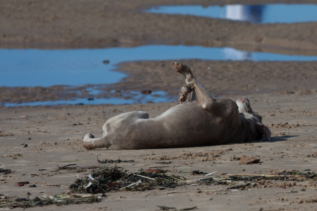 Flora enjoying a roll Formby Point (1 of 1)