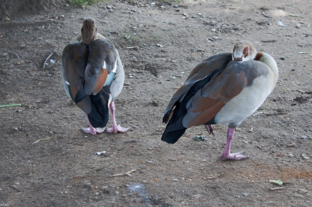 Geese V&A 26 Sept 2015 (1 of 1)
