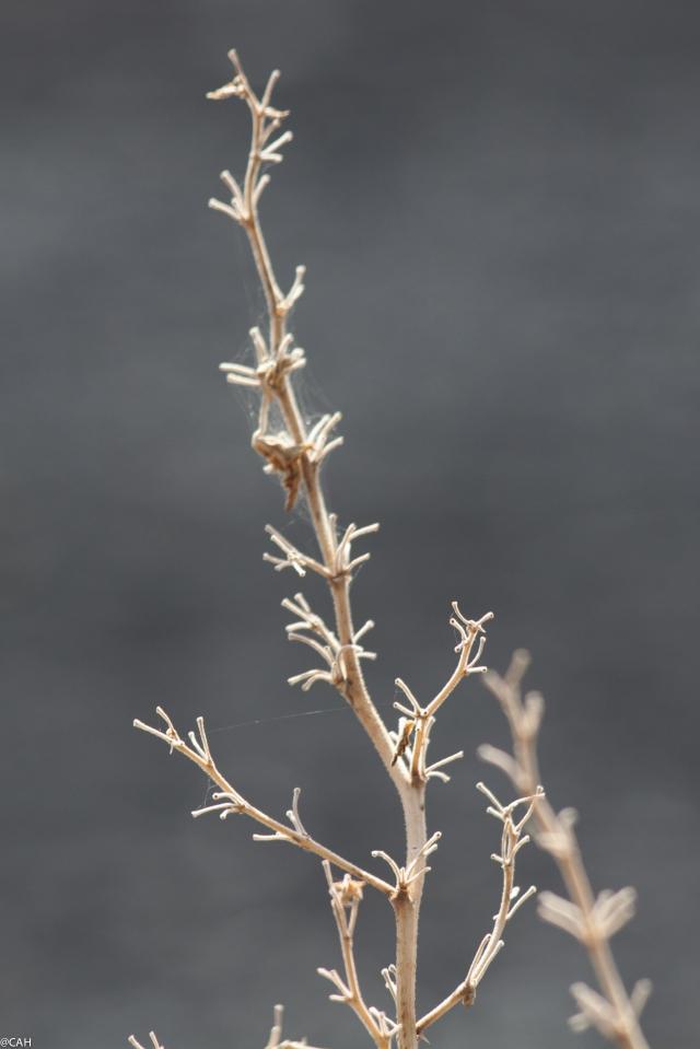 Stromboli seedheads 1 (1 of 1)