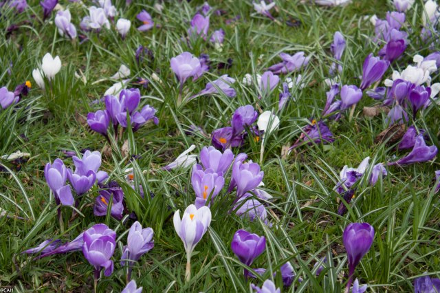 Crocus on Bruntsfield Links