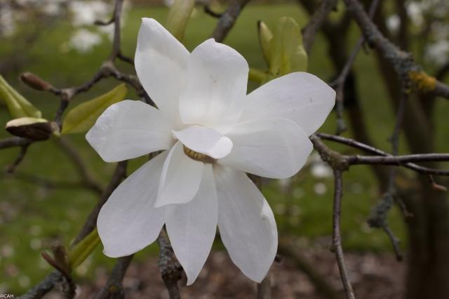 Kew Gardens 7 Magnolia Stellata 10 Apr 2016-1