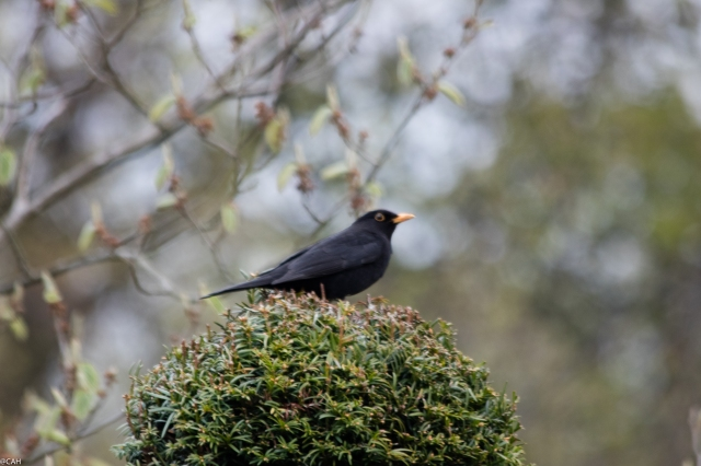 Blackbird Water of Leith 7 May 2016-1