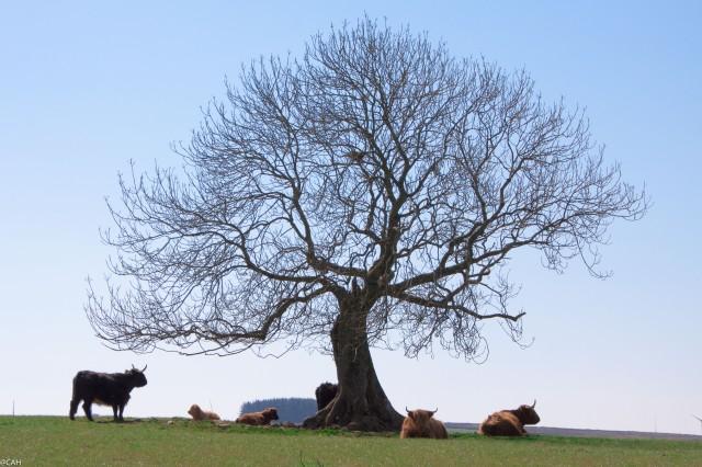 Cows under tree near Lauder 1 9 May 2015-1