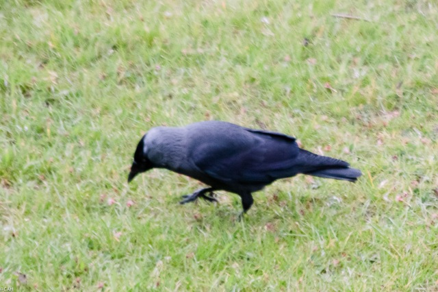 Jackdaw  Monkwood Court May 2016-1