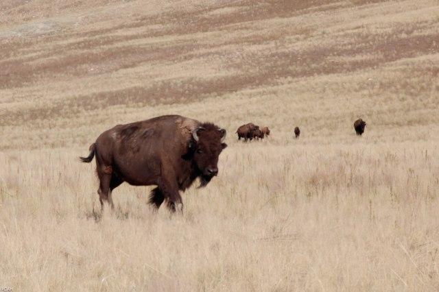 Bison Antelope Island 2 Utah 11 Jul 2016-1