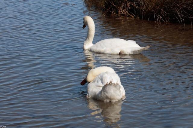 mute-swans-parc-ornothologique-du-teich-23-sep-2016-1