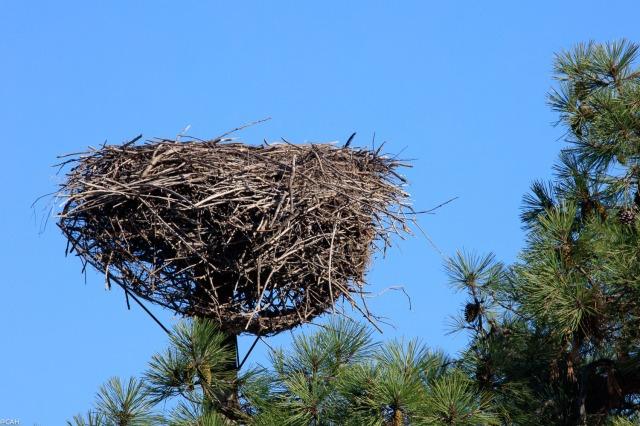 stork-nest-parc-ornothologique-du-teich-23-sep-2016-1
