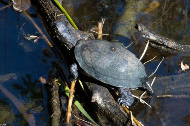 turtle-parc-ornothologique-du-teich-23-sep-2016-1