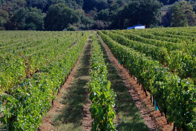 vineyard-near-cambes-20-sep-2016-1