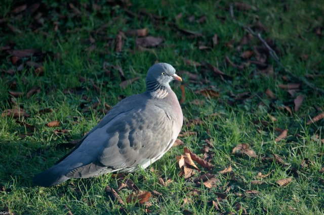 wood-pigeon-29-dec-2016-1