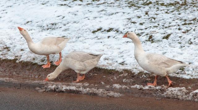 geese-drinking-at-johnstonbridge-13-jan-2017-1-of-1