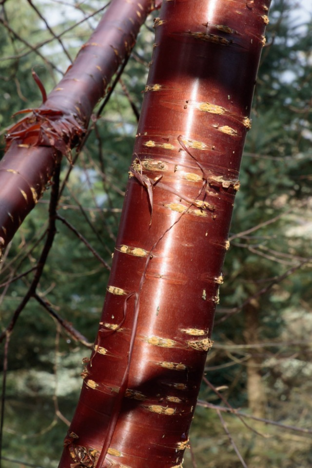 bark-1-betula-utilis-5-feb-2017-1-of-1