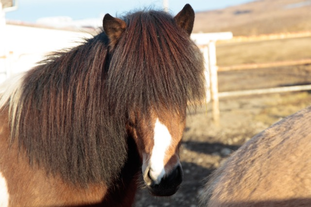 icelandic-horses-farm-visit-13-feb-2017-1-of-1